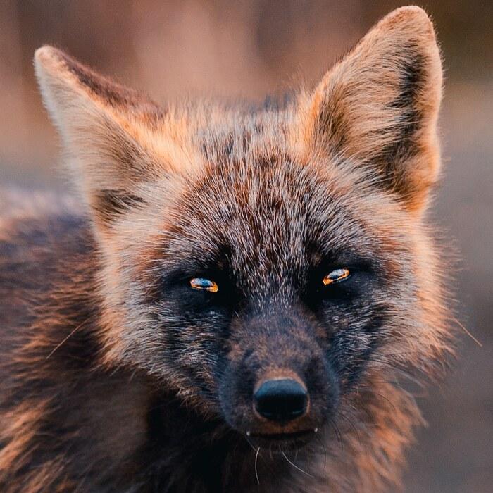 Le renard orange et noir unique pose pour un photographe amical
