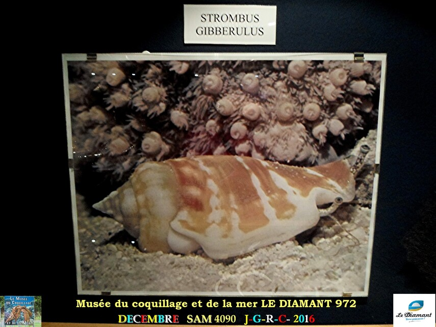 Le monde des coquillages de mer   2/5  7/    LE DIAMANT MARTINIQUE       D    24/10/2017