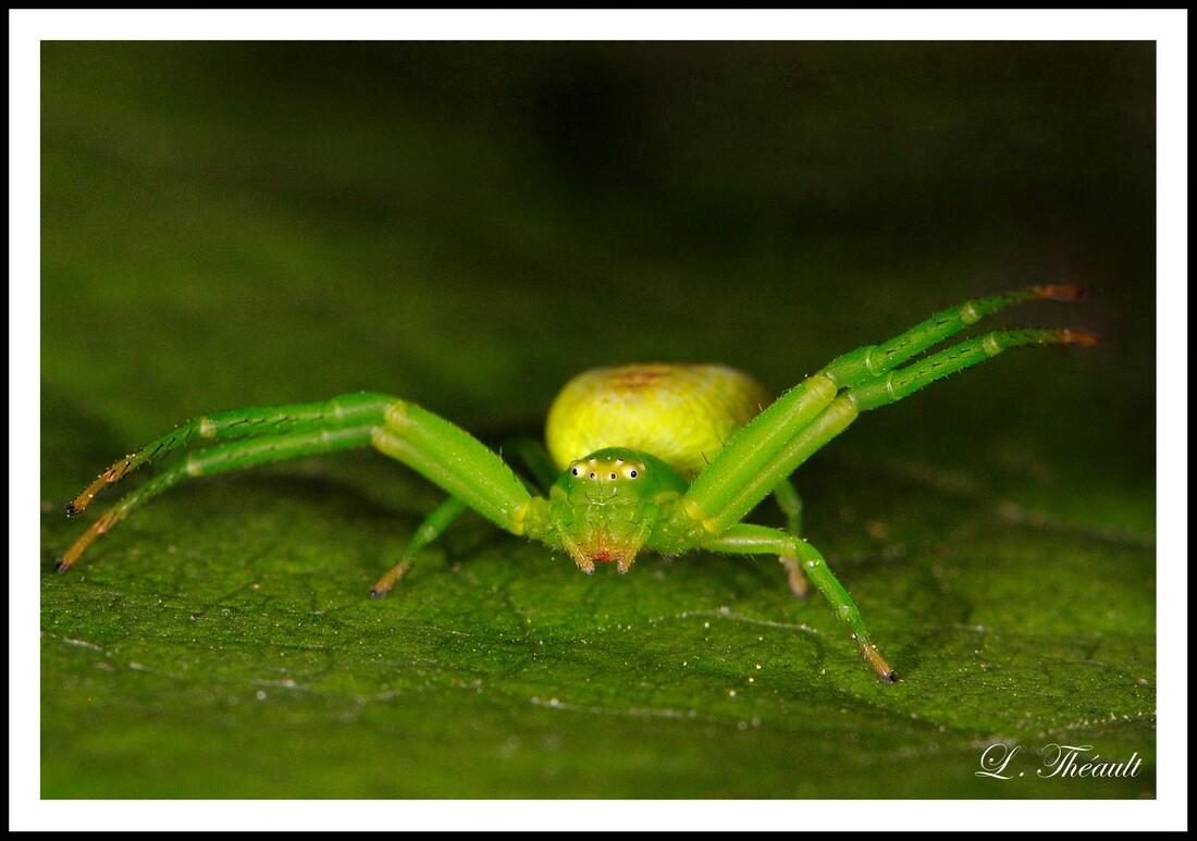 L'araignée crabe verte