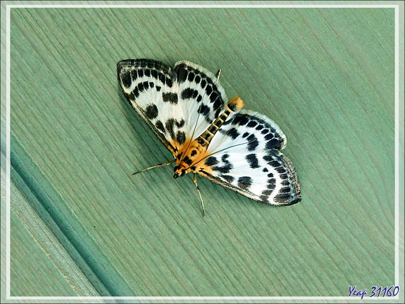 Papillon de nuit Pyrale de l'ortie, Small magpie moth (Anania hortulata) - Lartigau - Milhas - 31
