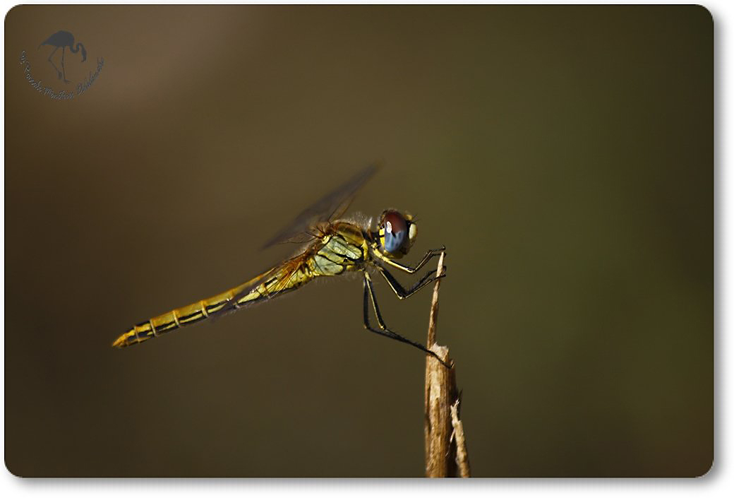 Sympetrum fonscolombii femelle ...