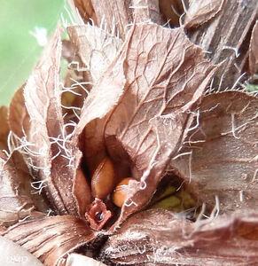 Prunella vulgaris  -  brunelle commune