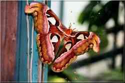 Papillons Tropicaux Attacus atlas Saturniidae