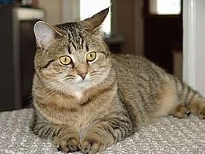 pixie-bob-cat-facts