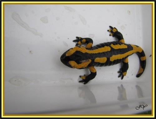 Salamandre.