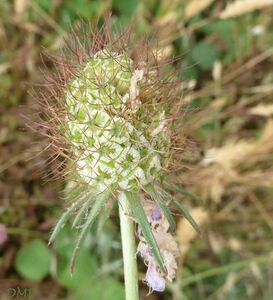 Scabiosa atropurpurea subsp. maritima - scabieuse maritime