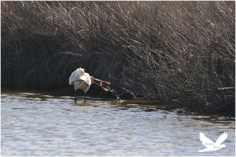 - Parc ornithologique du Teich: la spatule blanche
