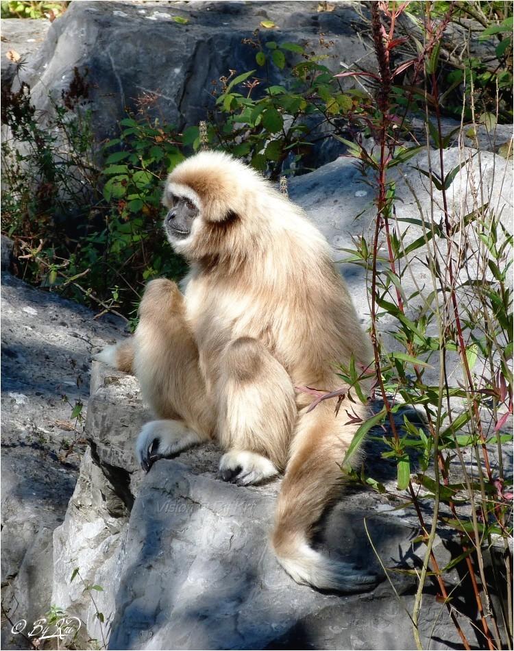 Le Gibbon ...