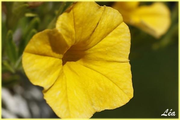 _MG_1809-petunia-jaune.jpg