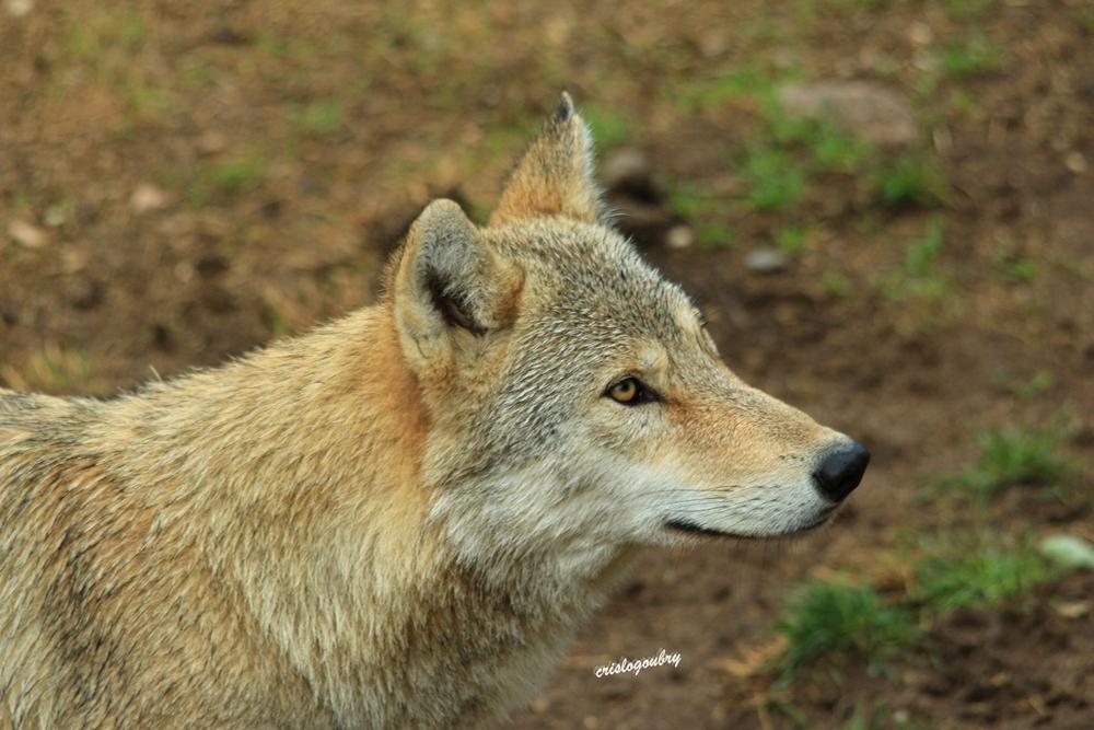 Le loup du Guevaudan