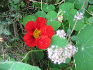 Mes-fleurs-et-le-potager-3165.JPG