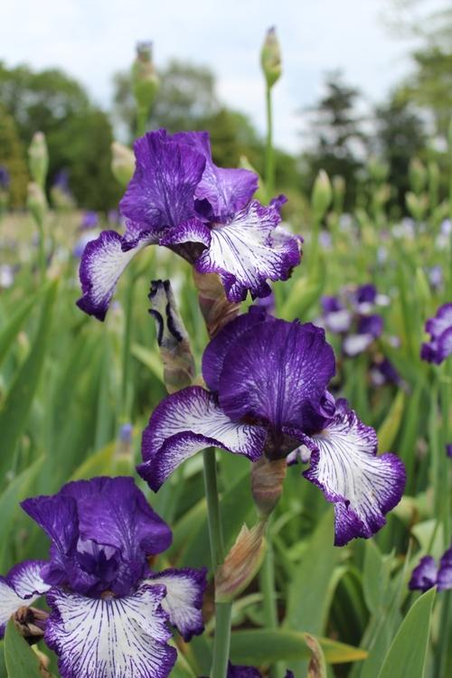 Le festival des iris au parc floral d'Orléans