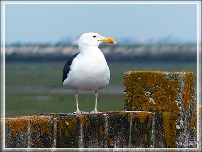 Goéland argenté, European Herring Gull (Larus argentatus) - Ars-en-Ré - Île de Ré - 17