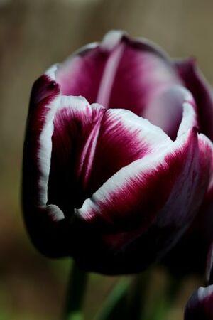 Tulipes 2015 : Jackpot