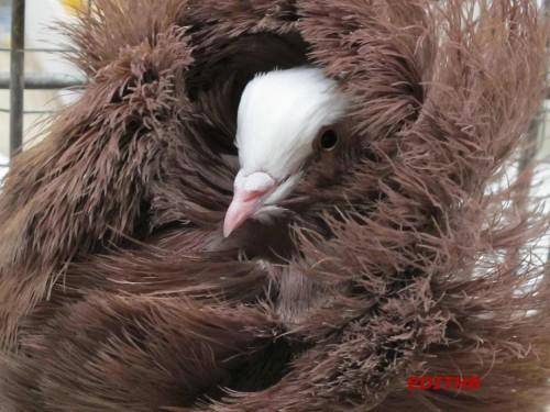 PIGEON CAPUCIN (9)
