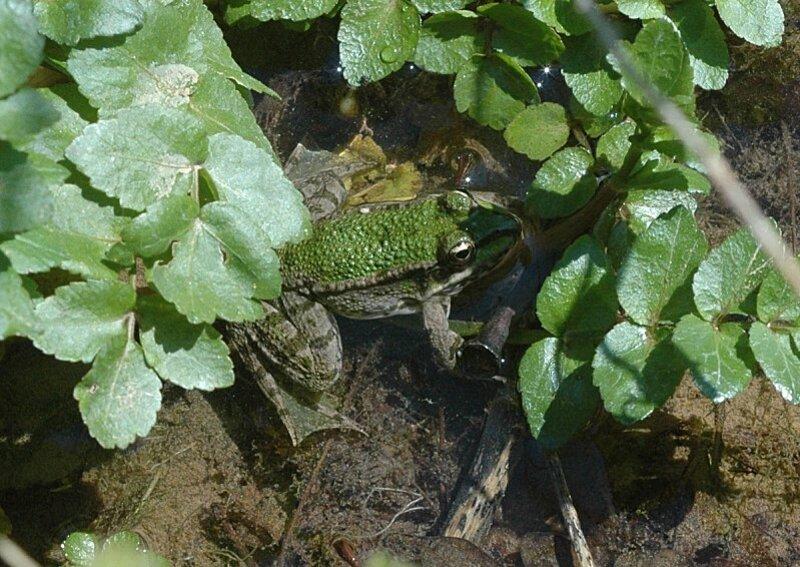 grenouille-verte-palme
