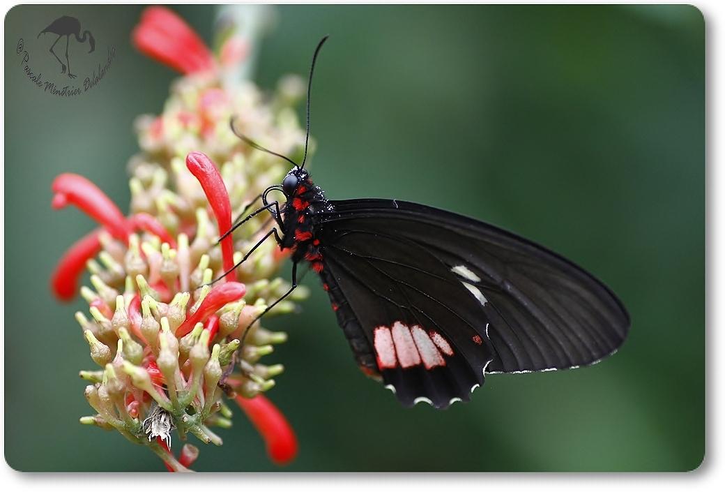 Parides photinus -Papilionidae - costa rica