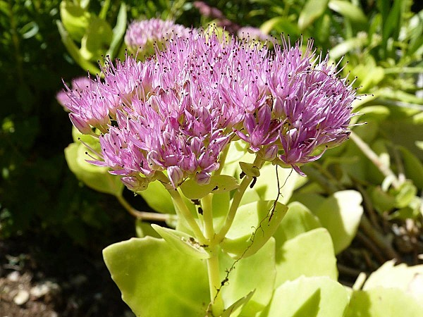 Sedum brillant 01