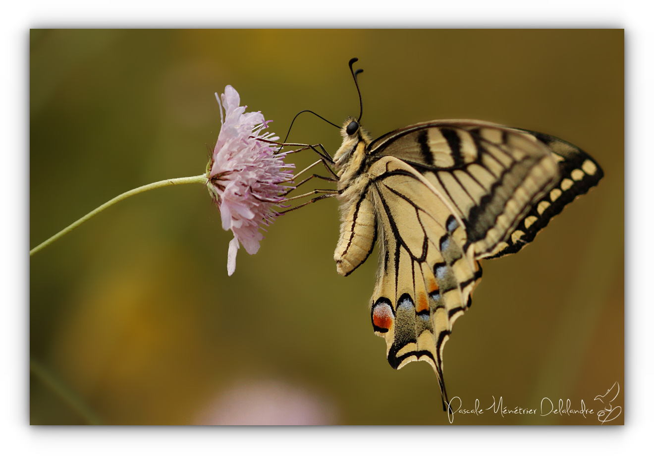 Machaon (Papilio machaon) - Papilionidae