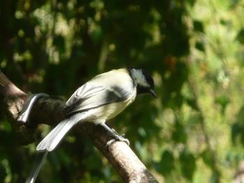 oiseaux mésanges (6)