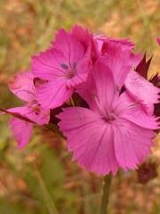 Oeillet des chartreux fleur
