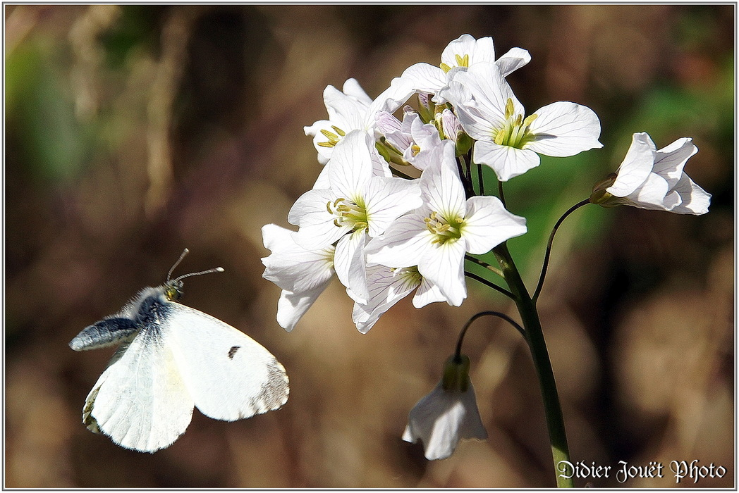 Aurore / Anthocaris cardamines
