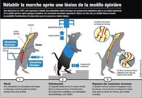 La science à réussit a réparer des moelle épinière de rats paraplégiques