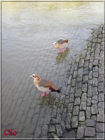 "Canards ""bizarres"" sur la Meuse."