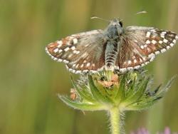 papillon dans les cevennes