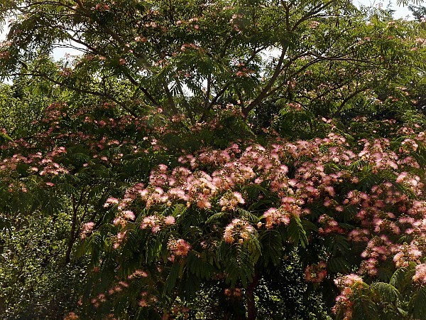 Albizia branches 2
