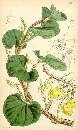 250px-Ullucus tuberosus