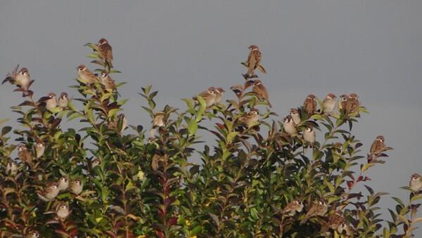 friquets-10 12 2011