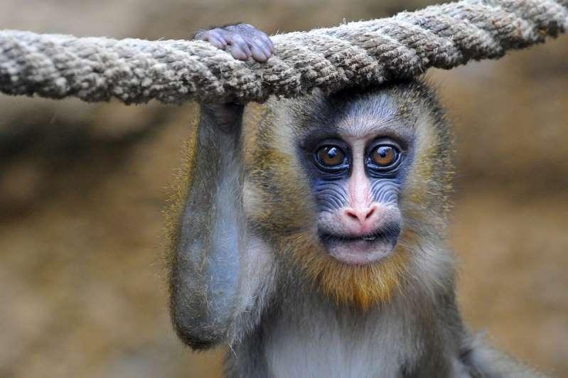 L'huile de palme menace aussi les primates d'Afrique