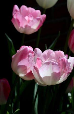 Les tulipes de la Roseraie (3/3)