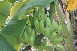 Un max de bananiers à Tival