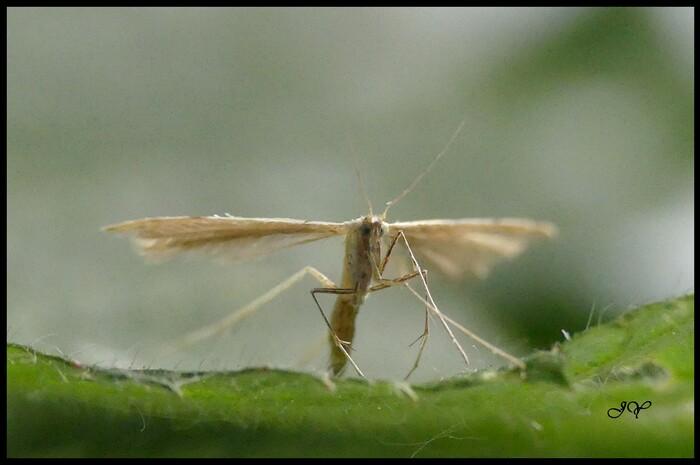 Adaina microdactyla.