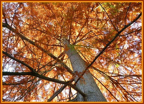 sous l'arbre roux