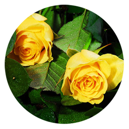 La rose en parfumerie