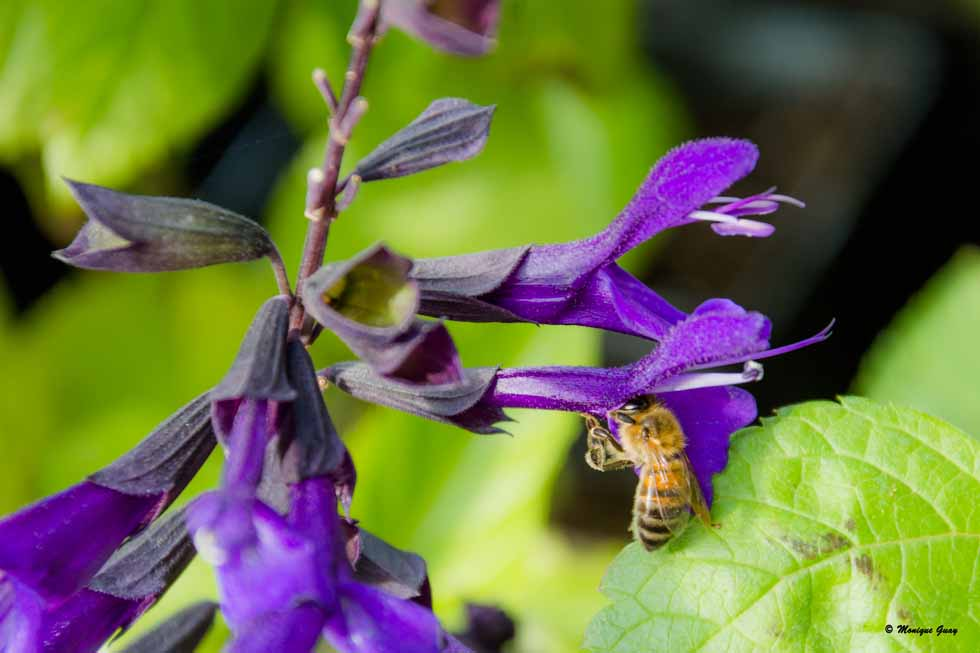 Abeille sur Salvia guaranitica