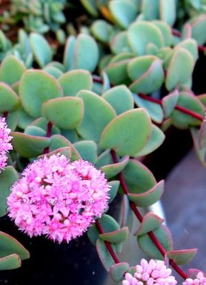 Sedum Sieboldii en fleur