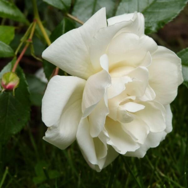 rosier-opalia---rose-fraichement-eclose---mai-2014.jpg