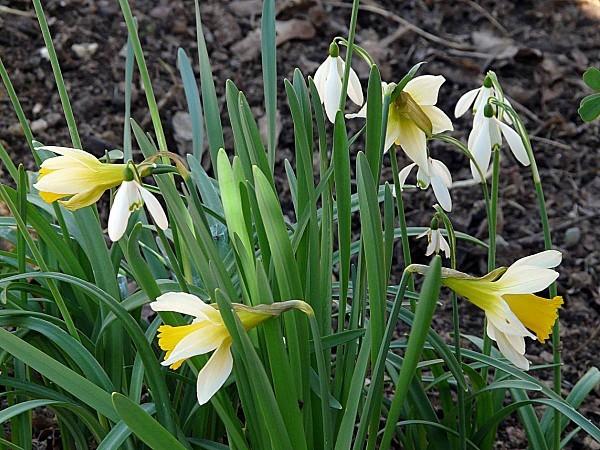 Narcisse et Perce neige2