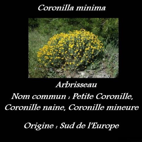 Coronilla minima