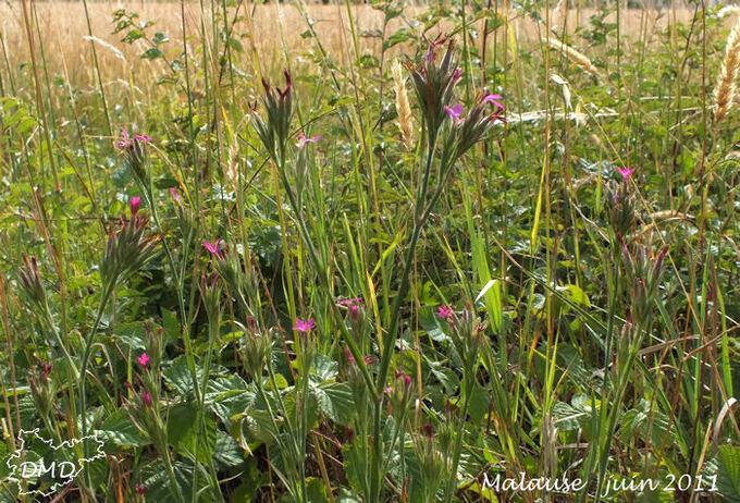 Dianthus armeria - oeillet velu