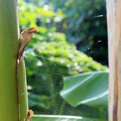 Toile d'araignée entre les bananiers