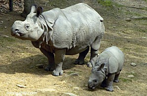 0424sumatra rhino-mother 15