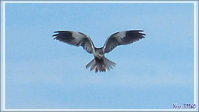 Le vol du Saint-Esprit de l'Élanion blanc, Black-winged Kite (Elanus caeruleus) - Lac de Puydarrieux - Hautes-Pyrénées