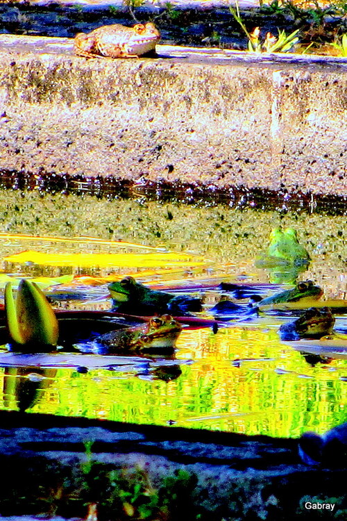 Ponta Delgada: des grenouilles!