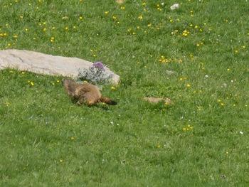 Cette marmotte s'enfuit