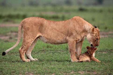 Une belle leçon de courage ... Sauvetage d'un Lionceau !